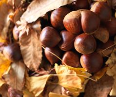Chestnut story
